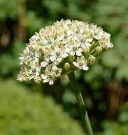 Look  Allium nigrum, BIO