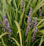 Leliegras  Liriope muscari 'Big Blue' (Leliegras)