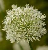 Sierui Allium 'Mount Everest' (Sierui)