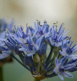 Look Allium caeruleum
