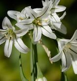Look Allium triquetrum (Driekantig look)