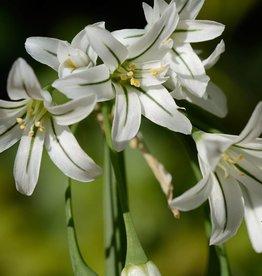 Look Allium triquetrum