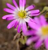 Anemoon (oosterse)  Anemone blanda 'Radar' (Oosterse anemoon)