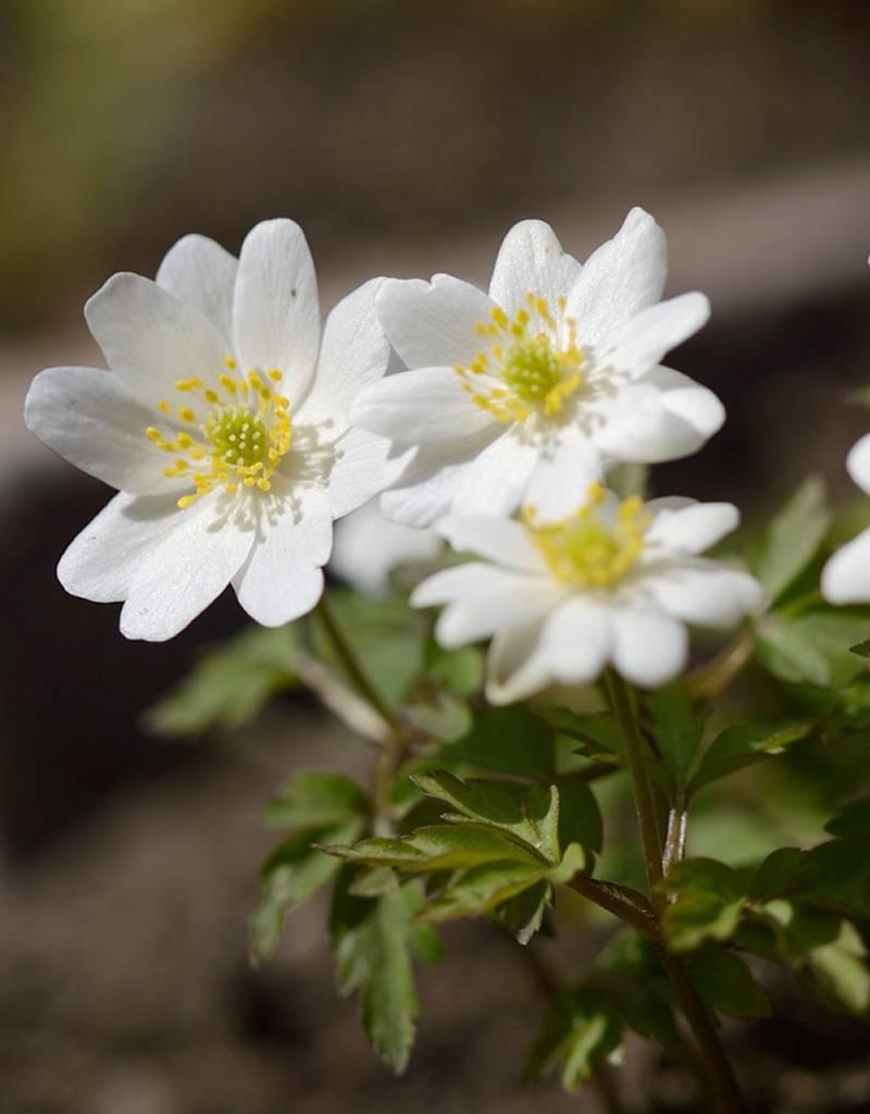 Anemoon (bos)  Anemone nemorosa 'Hilda' (Bosanemoon) - Stinzenplant