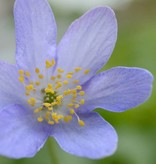 Anemoon (bos)  Anemone nemorosa 'Royal Blue' (Bosanemoon) - Stinzenplant