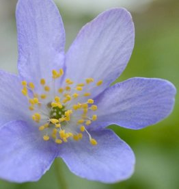 Anemoon (bos) Anemone nemorosa 'Royal Blue'