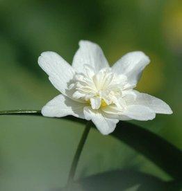 Anemoon (bos)  Anemone nemorosa 'Vestal'