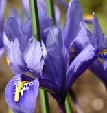 Iris  Iris reticulata 'Harmony' (Dwergiris), BIO
