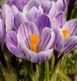 Krokus (bonte)  Crocus vernus 'King of the Striped'
