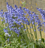 Hyacint (spaanse)  Hyacinthoides hispanica 'Excelsior' (Spaanse Hyacint)