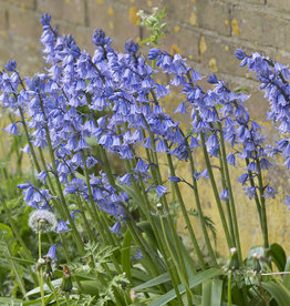 Hyacint (spaanse)  Hyacinthoides hispanica 'Excelsior'