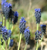 Blauwe druifjes  Muscari neglectum (Blauwe druifjes)