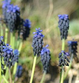 Blauwe druifjes  Muscari neglectum