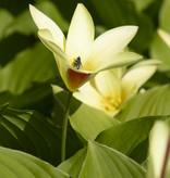 Tulp  Tulipa clusiana var. chrysantha, BIO