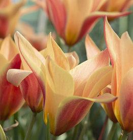 Tulp  Tulipa clusiana 'Sheila'