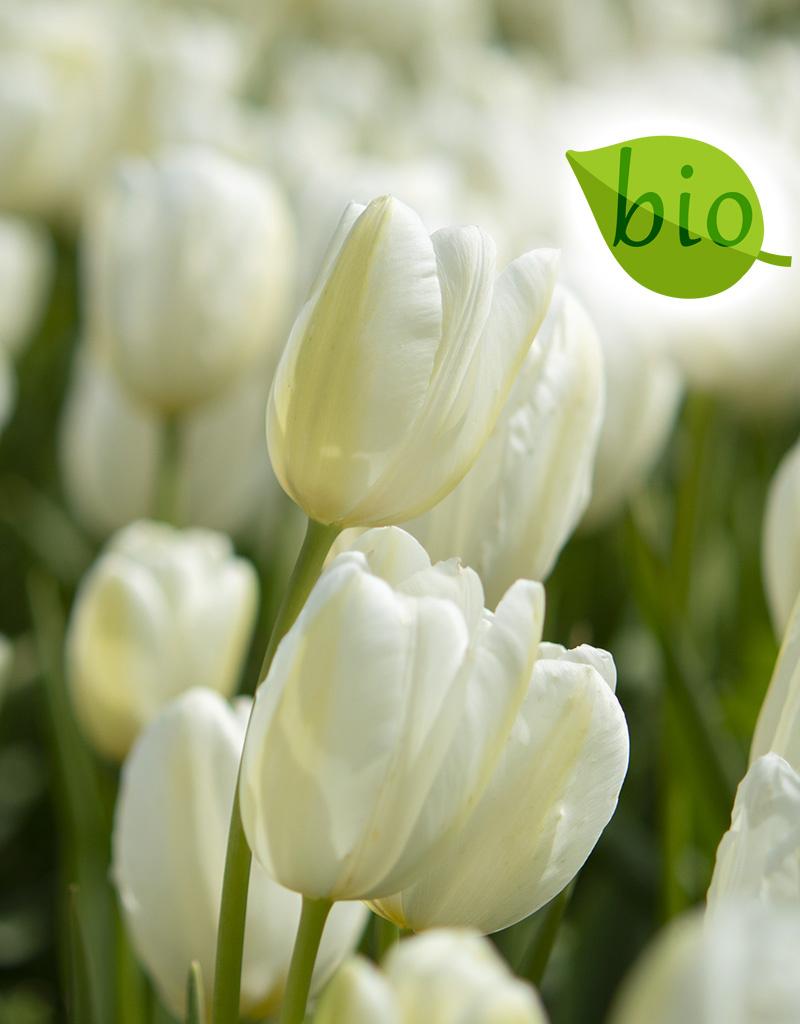 Tulp  Tulipa 'Catharina', BIO