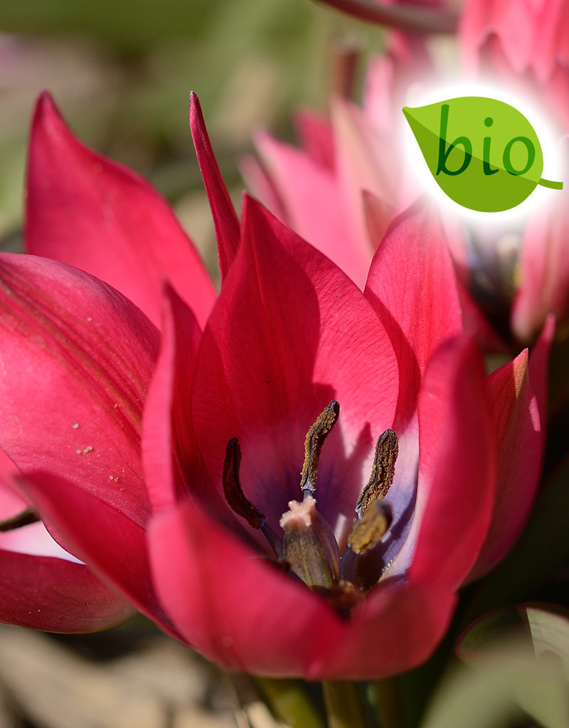 Tulp  Tulipa 'Little Beauty', BIO