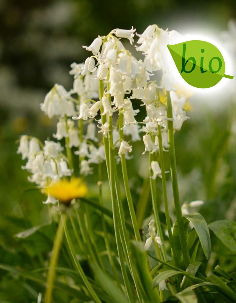 Hyacint (bos/wilde)  Hyacinthoides non-scripta Wit (Boshyacint), BIO - Stinzenplant