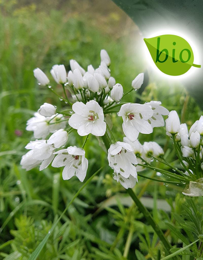 Look  Allium neapolitanum (cowanii) (Bruidsuitje), BIO