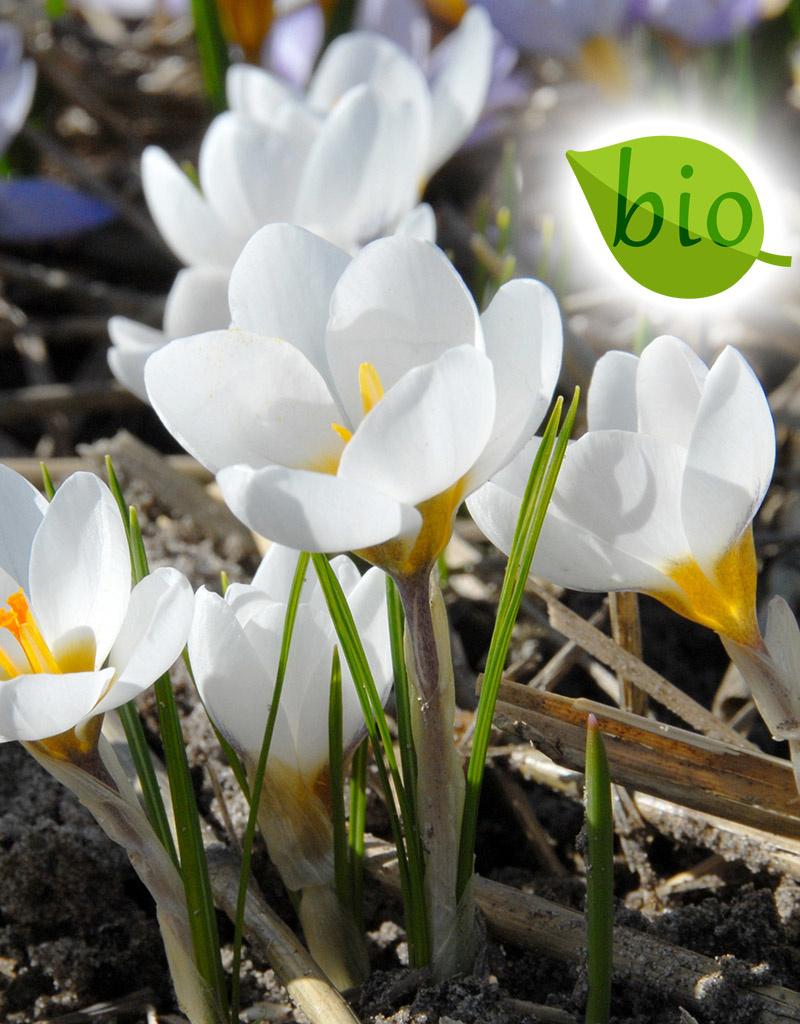 Krokus  Crocus chrysanthus 'Ard Schenk', BIO