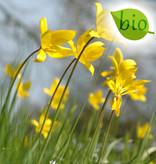 Tulp (bos)  Tulipa sylvestris (Bostulp) - Stinzenplant, BIO