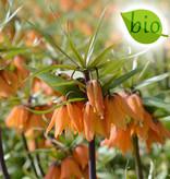 Keizerskroon  Fritillaria 'Early Dream' (Keizerskroon), BIO