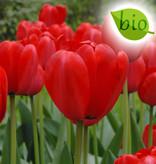 Tulp  Tulipa 'Red Impression', BIO