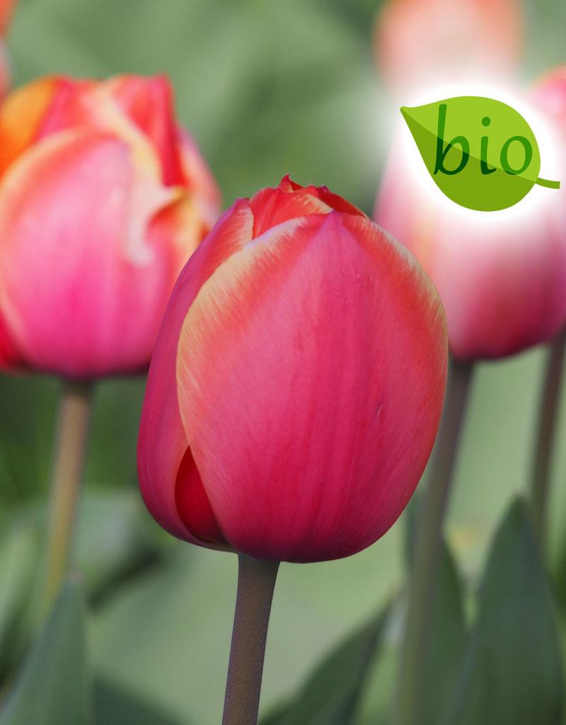 Tulp  Tulipa 'Ad Rem', BIO