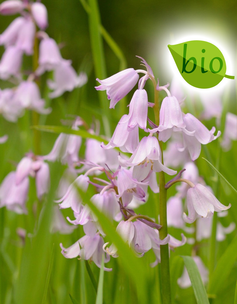 Hyacint (bos/wilde)  Hyacinthoides non-scripta Roze (Boshyacint) - Stinzenplant, BIO