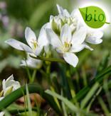 Vogelmelk (breedbladige)  Ornithogalum balansae (Breedbladige vogelmelk) - Stinzenplant , BIO