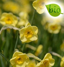 Narcis  Narcissus 'Sun Disc', BIO
