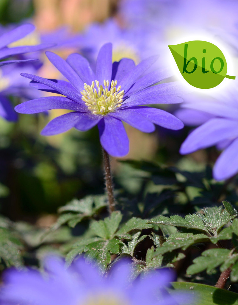 Anemoon (oosterse)  Anemone blanda 'Blue Shades' (Oosterse anemoon), BIO