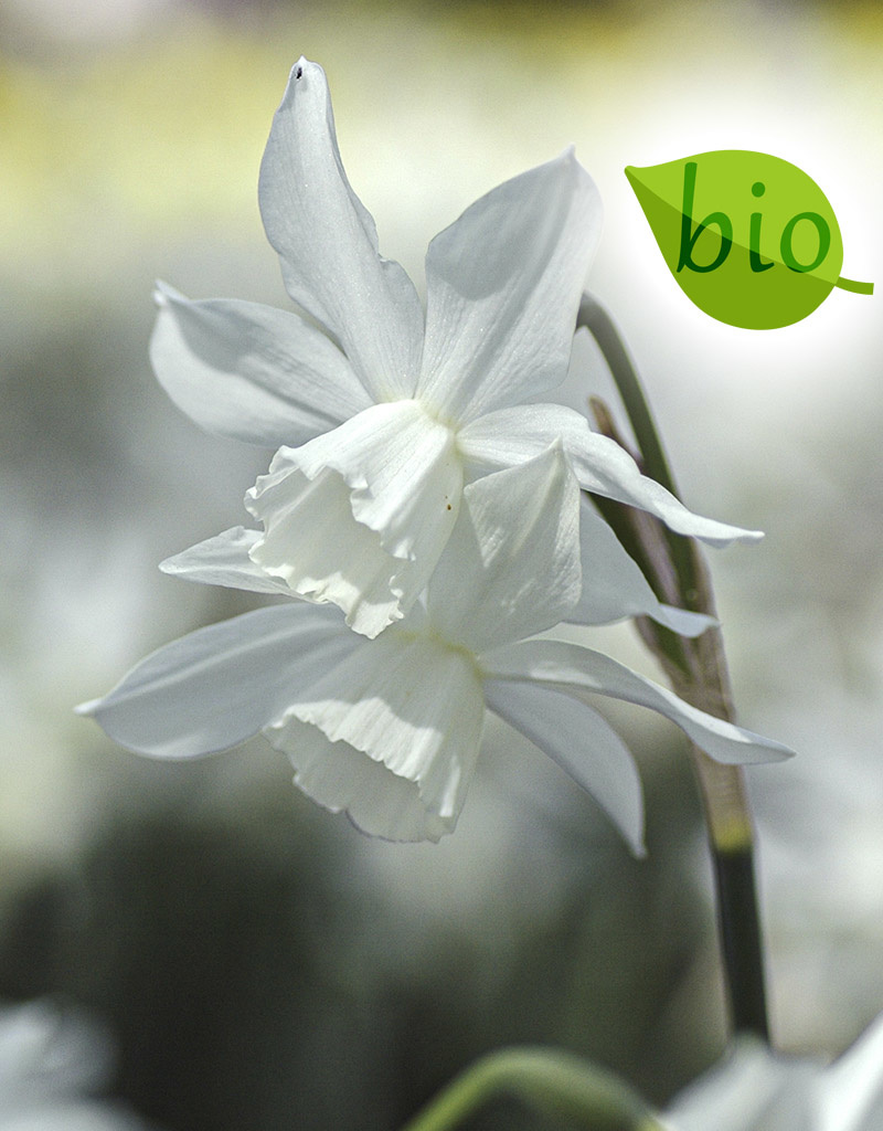 Narcis  Narcissus 'Thalia', BIO