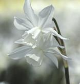 Narcis  Narcissus 'Thalia'