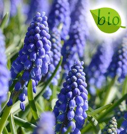 Blauwe druifjes  Muscari armeniacum, BIO