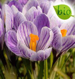 Krokus (bonte)  Crocus vernus 'King of the Striped', BIO