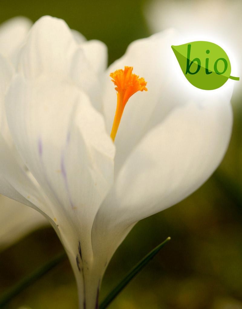 Krokus (bonte)  Crocus vernus 'Jeanne d'Arc' (Bonte krokus) - Stinzenplant, BIO
