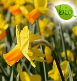 Narcis  Narcissus 'Jetfire', BIO