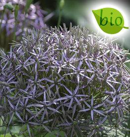 Sierui  Allium christophii, BIO
