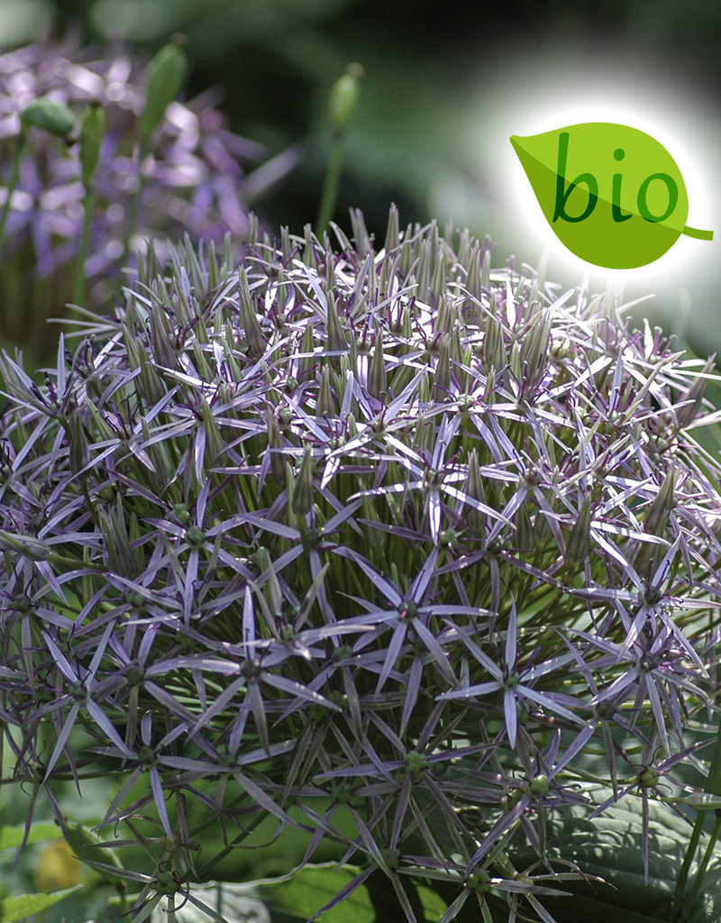 Sierui  Allium christophii, BIO (Sterrenlook)