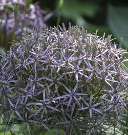 Sierui  Allium christophii