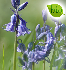 Hyacint (bos/wilde)  Hyacinthoides non-scripta blauw, BIO