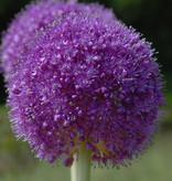 Sierui  Allium giganteum (Reuzenui)