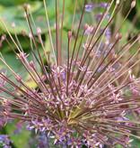 Sierui  Allium schubertii (Sierui)