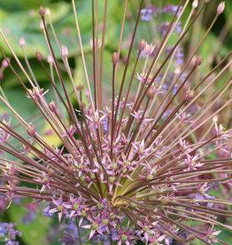 Sierui  Allium schubertii