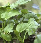 Aronskelk  Arum maculatum (Gevlekte aronskelk)