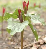 Boslelie  Trillium sessile (Boslelie)