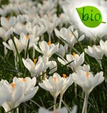 Krokus  Biologisch krokusmengsel - 100 stuks voor 4m2