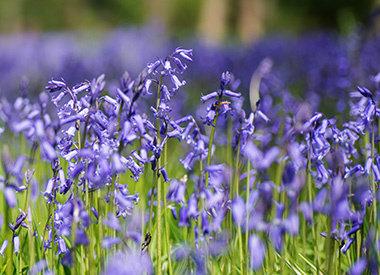 HYACINTHOIDES - hyacint