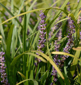 Leliegras  Liriope muscari 'Big Blue'